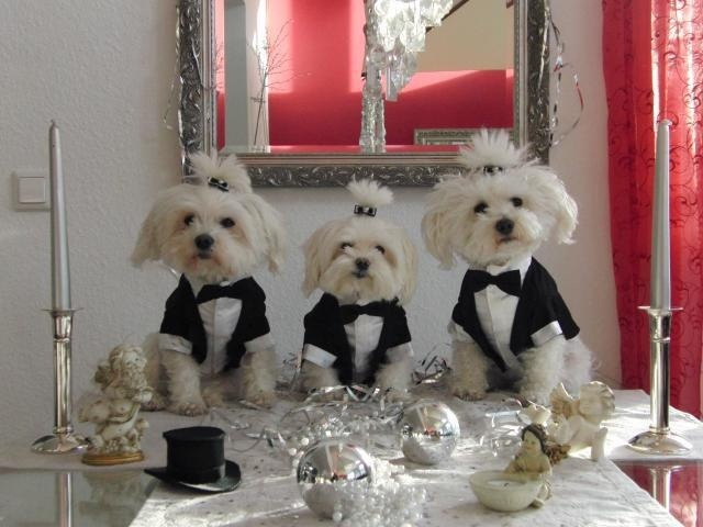 Amazing Maltese Dogs Trio