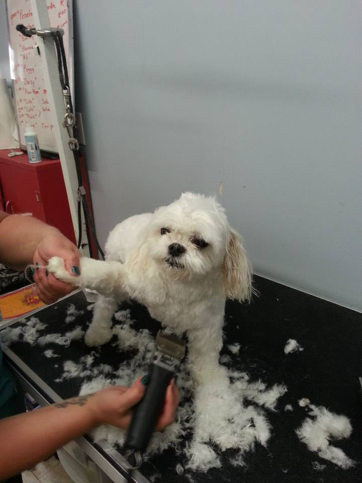 Maltese Dog Haircut Challenges